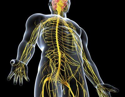 Approche neurodynamique du membre inférieur